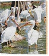 Pelican Squabble Wood Print