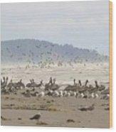 Pelicans And Gulls Wood Print