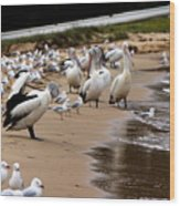 Pelicans At Pearl Beach 1.0 Wood Print