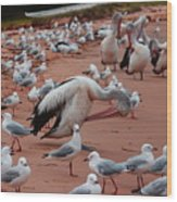 Pelicans At Pearl Beach 3.0 Wood Print