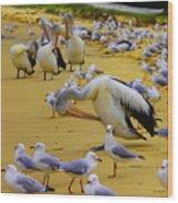 Pelicans At Pearl Beach 3.1 Wood Print