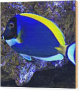 Blue Tang Fish  Wood Print
