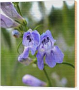 Penstemon 1 Wood Print