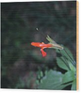 Penstemon At Havasupai Wood Print