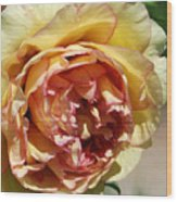 peony 19 Pale Yellow and Pink Tree Peony macro Wood Print