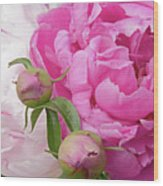 Peony Pair In Pink And White  Wood Print