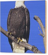 Perched Bald Eagle Wood Print