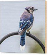 Perched Blue Jay Wood Print