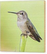 Perched Hummingbird Vi Wood Print