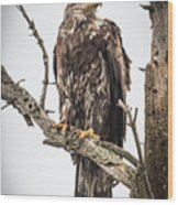Perched Juvenile Eagle Wood Print