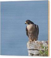 Perched Peregrine Falcon Wood Print