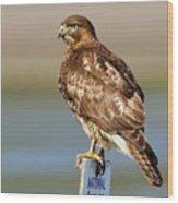 Perched Red Tail Hawk Wood Print