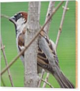 Perching Sparrow Wood Print