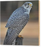 Peregrine Falcon Perched Wood Print