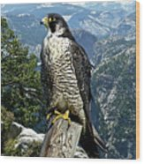 Peregrine Falcon, Yosemite Valley, Western Sierra Nevada Mountain, Echo Ridge Wood Print