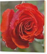 Perfect Red Rose Wood Print