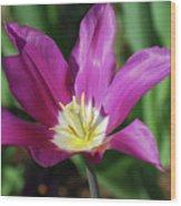 Perfect Single Dark Pink Tulip Flower Blossom Blooming Wood Print