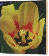Perfect Yellow And Red Flowering Tulip In A Garden Wood Print