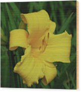 Perfect Yellow Daylily Flowering In A Garden Wood Print