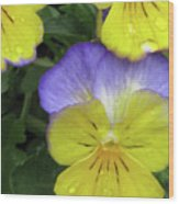 Perfectly Pansy 12 Wood Print