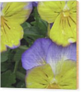 Perfectly Pansy 13 Wood Print