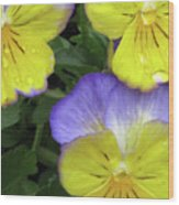 Perfectly Pansy 14 Wood Print