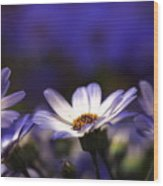 Pericallis On A Cool Spring Evening 4 Wood Print