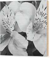 Peruvian Lilies  Flowers Black And White Print Wood Print
