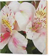 Peruvian Lilies  Flowers White And Pink Color Print Wood Print