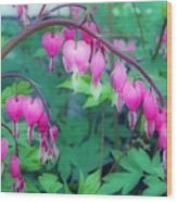 Pretty Little Bleeding Hearts Wood Print