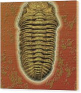 Phacops Rana Crassituberculata  Wood Print