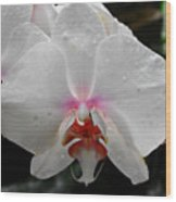 Phalaenopsis Orchid With Blush Center Wood Print