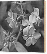 Phlox Divaricata Bw Wood Print