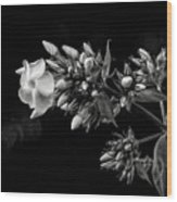 Phlox In Black And White Wood Print