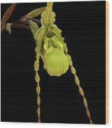 Phragmipedium Richteri Orchid Wood Print