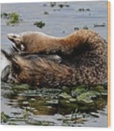 Pied-billed Grebe Spreading Oil Wood Print