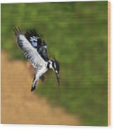 Pied Kingfisher Wood Print by Tony Beck