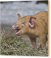 Piglet Eating Hay Wood Print