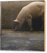 Pigs At A Hog Farm In Kansas Wood Print