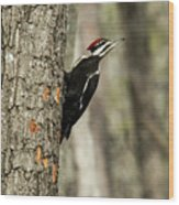 Pileated About To Take Flight Wood Print
