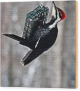 Pileated Billed Woodpecker Feeding 1 Wood Print