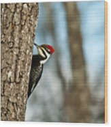 Pileated Billed Woodpecker Pecking 1 Wood Print