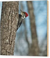 Pileated Billed Woodpecker Pecking 2 Wood Print