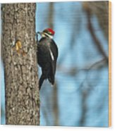 Pileated Billed Woodpecker Pecking 3 Wood Print