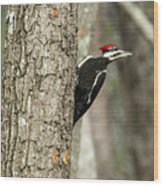 Pileated Searching - Looking Wood Print