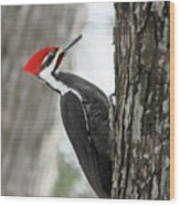 Pileated Woodpecker In Spring Wood Print