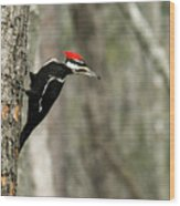 Pileated Woodpecker Looking For A Perspective Mate Wood Print
