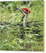 Pileated Woodpecker On The Ground No. 1 Wood Print