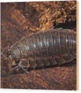 Pill Bug Wood Print