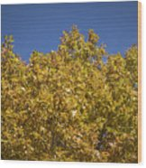 Pin Oaks In The Fall No 2 Wood Print